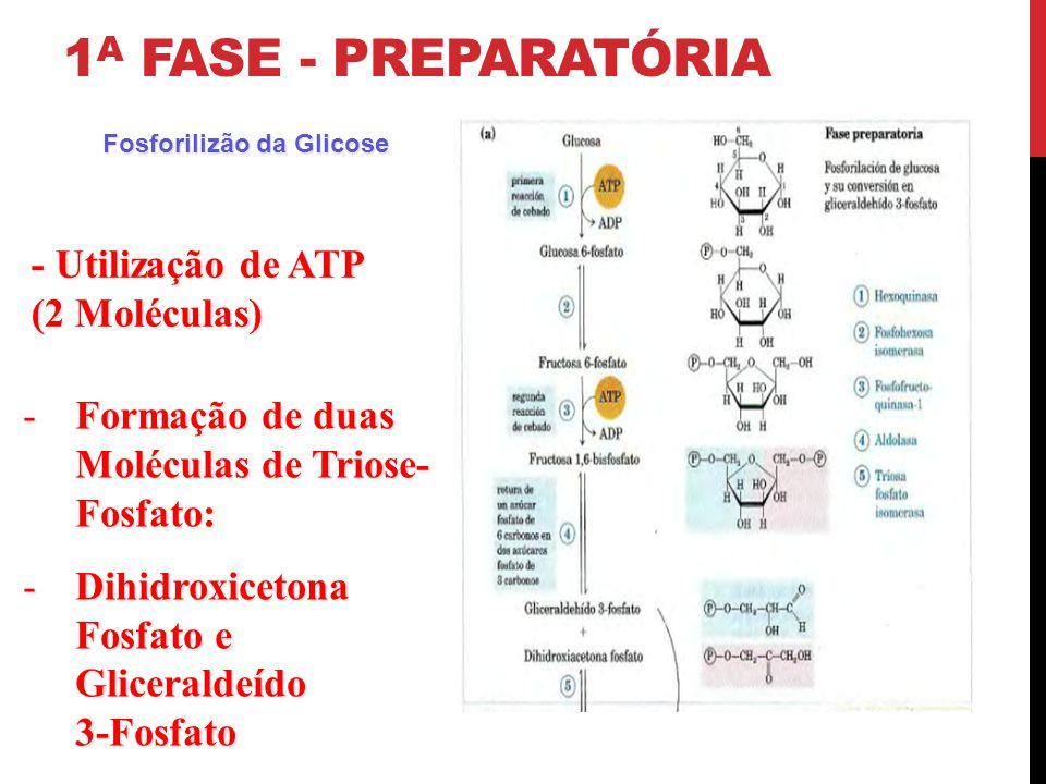 1 A FASE - PREPARATÓRIA -Formação de duas Moléculas de Triose- Fosfato: -Dihidroxicetona Fosfato e Gliceraldeído 3-Fosfato - Utilização de ATP (2 Molé