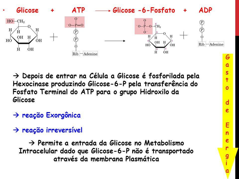 Glicose + ATP Glicose -6-Fosfato + ADP Glicose + ATP Glicose -6-Fosfato + ADP Gasto de EnergiaGasto de Energia Depois de entrar na Célula a Glicose é