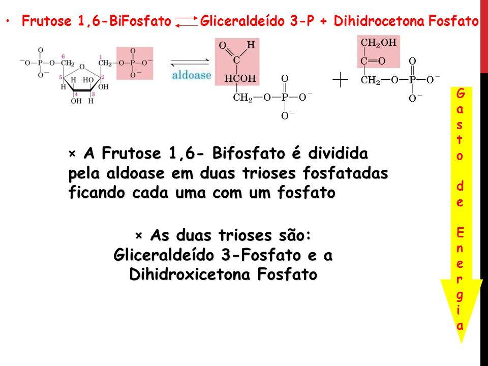 Frutose 1,6-BiFosfato Gliceraldeído 3-P + Dihidrocetona Fosfato Frutose 1,6-BiFosfato Gliceraldeído 3-P + Dihidrocetona Fosfato Gasto de EnergiaGasto