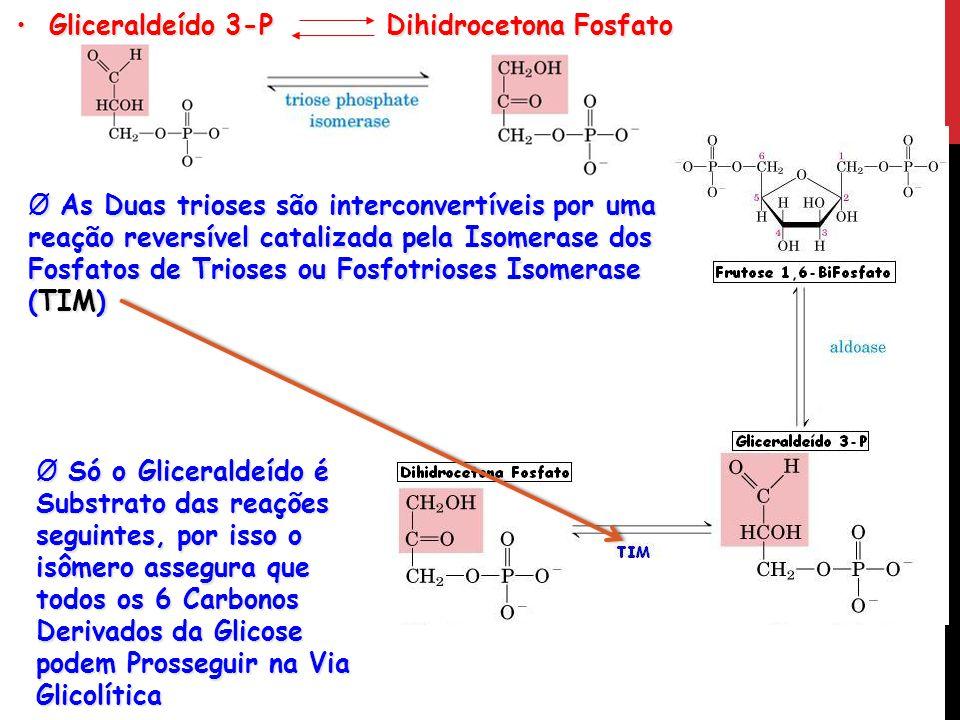 Gliceraldeído 3-P Dihidrocetona Fosfato Gliceraldeído 3-P Dihidrocetona Fosfato Ø As Duas trioses são interconvertíveis por uma reação reversível cata