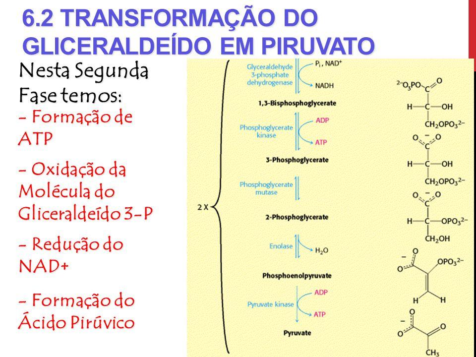 6.2 TRANSFORMAÇÃO DO GLICERALDEÍDO EM PIRUVATO Nesta Segunda Fase temos: - Formação de ATP - Oxidação da Molécula do Gliceraldeído 3-P - Redução do NA