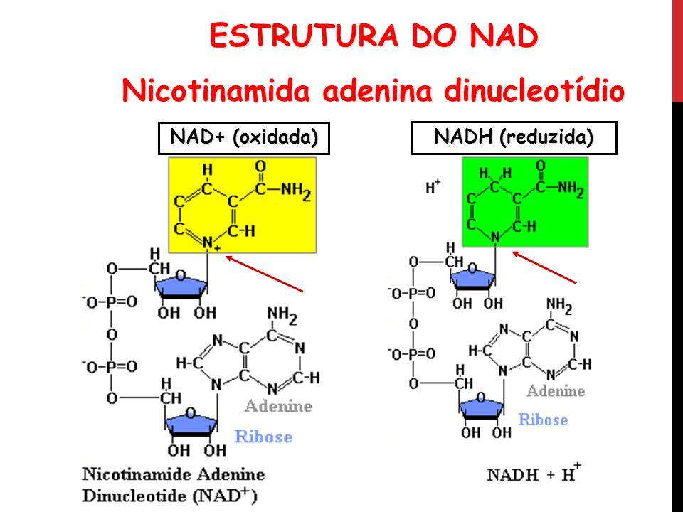 ESTRUTURA DO NAD Nicotinamida adenina dinucleotídio NAD+ (oxidada) NADH (reduzida)