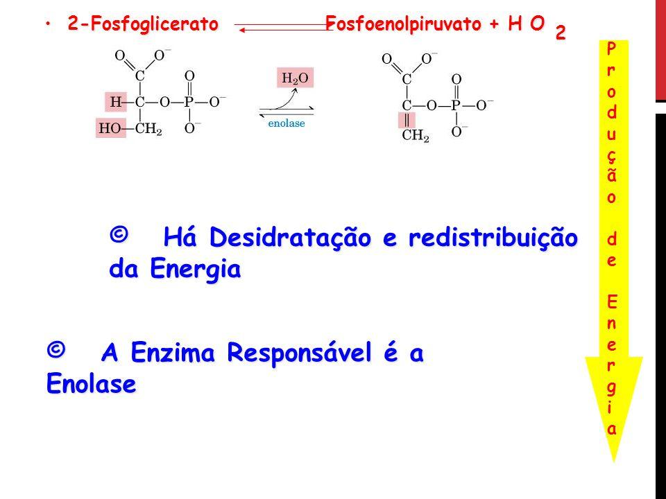 2-Fosfoglicerato Fosfoenolpiruvato + H O 2-Fosfoglicerato Fosfoenolpiruvato + H O 2 Produção de EnergiaProdução de Energia © Há Desidratação e redistr