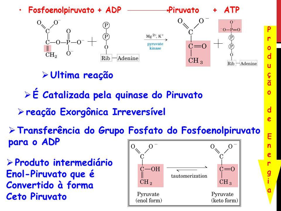 Fosfoenolpiruvato + ADP Piruvato + ATP Fosfoenolpiruvato + ADP Piruvato + ATP Produção de EnergiaProdução de Energia Ultima reação Ultima reação É Cat