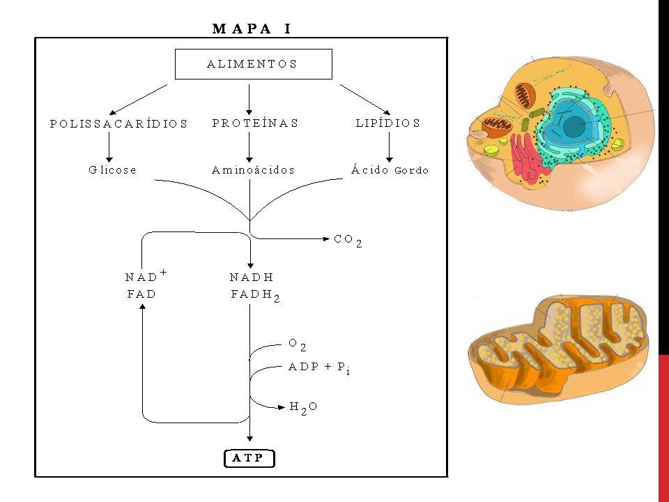 Gliceraldeído 3-P Dihidrocetona Fosfato Gliceraldeído 3-P Dihidrocetona Fosfato Ø As Duas trioses são interconvertíveis por uma reação reversível catalizada pela Isomerase dos Fosfatos de Trioses ou Fosfotrioses Isomerase (TIM) Ø Só o Gliceraldeído é Substrato das reações seguintes, por isso o isômero assegura que todos os 6 Carbonos Derivados da Glicose podem Prosseguir na Via Glicolítica