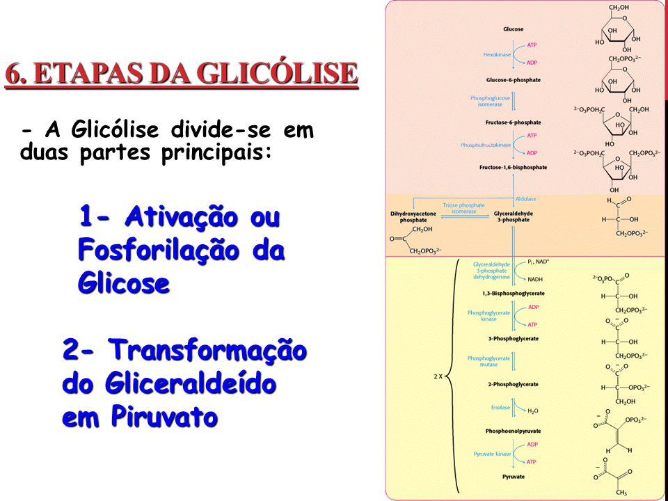6. ETAPAS DA GLICÓLISE - A Glicólise divide-se em duas partes principais: 1- Ativação ou Fosforilação da Glicose 2- Transformação do Gliceraldeído em