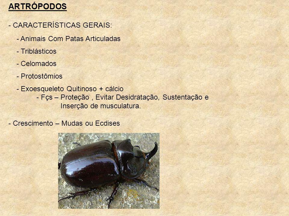 ARTRÓPODOS - CARACTERÍSTICAS GERAIS: - Animais Com Patas Articuladas - Triblásticos - Celomados - Protostômios - Exoesqueleto Quitinoso + cálcio - Fçs