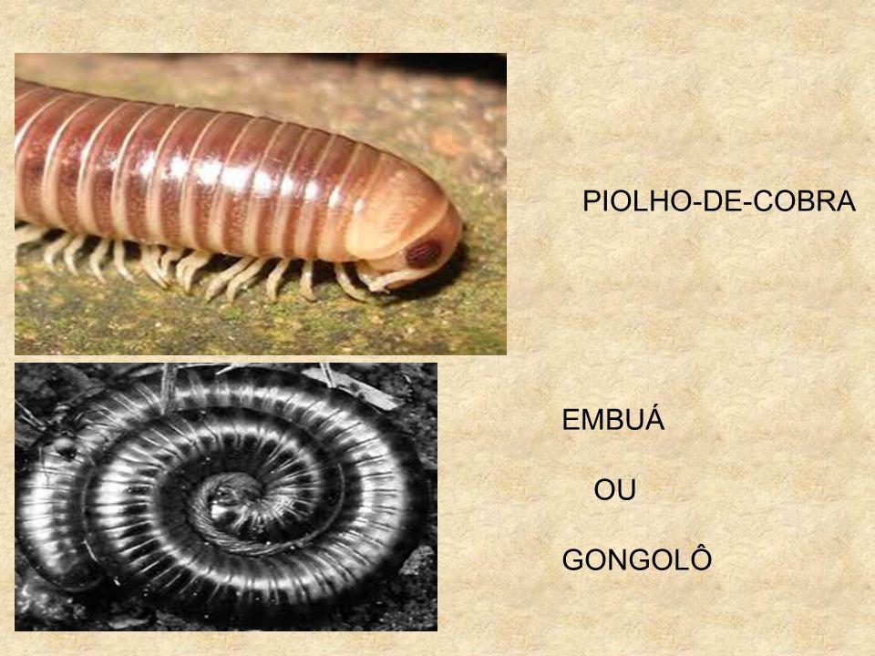 PIOLHO-DE-COBRA EMBUÁ OU GONGOLÔ