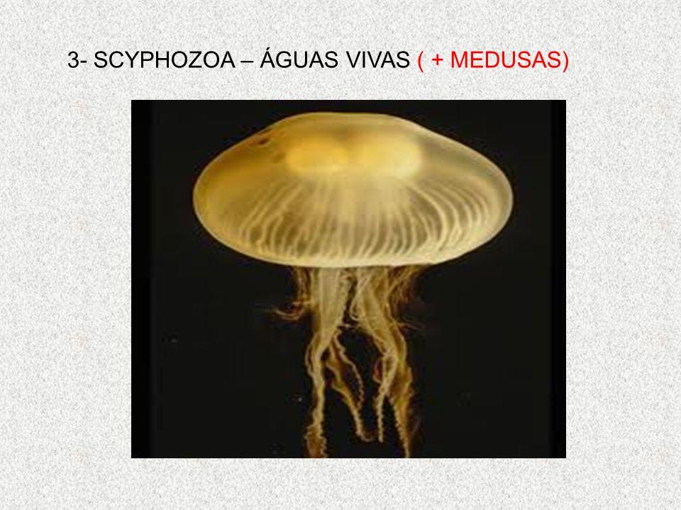 3- SCYPHOZOA – ÁGUAS VIVAS ( + MEDUSAS)