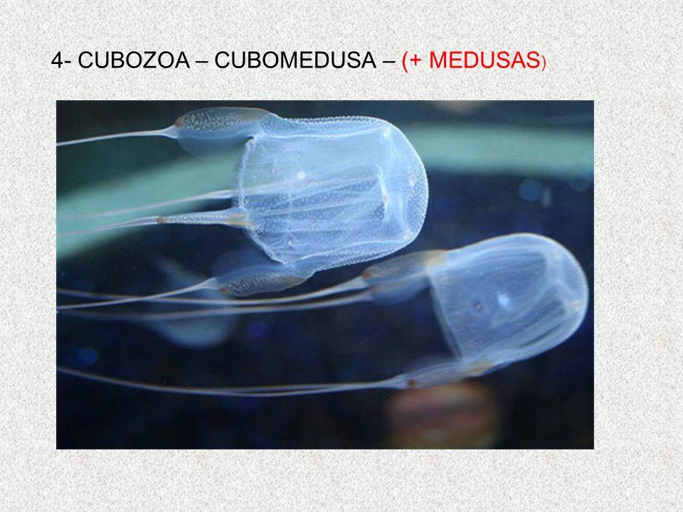 4- CUBOZOA – CUBOMEDUSA – (+ MEDUSAS )