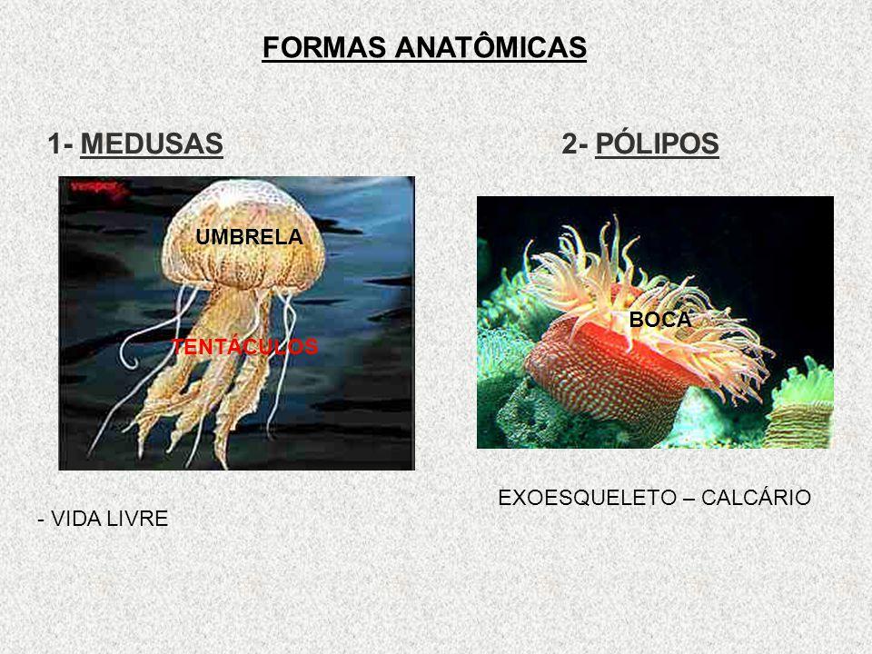 FORMAS ANATÔMICAS 1- MEDUSAS 2- PÓLIPOS EXOESQUELETO – CALCÁRIO - VIDA LIVRE UMBRELA TENTÁCULOS BOCA