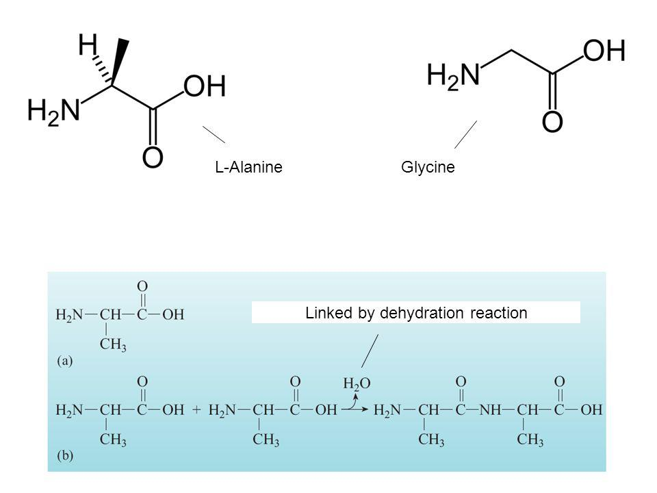 L-AlanineGlycine Linked by dehydration reaction