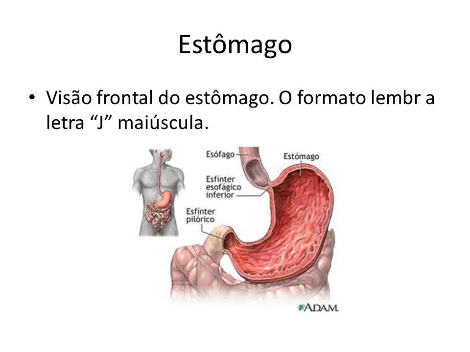 Estômago Visão frontal do estômago. O formato lembr a letra J maiúscula.