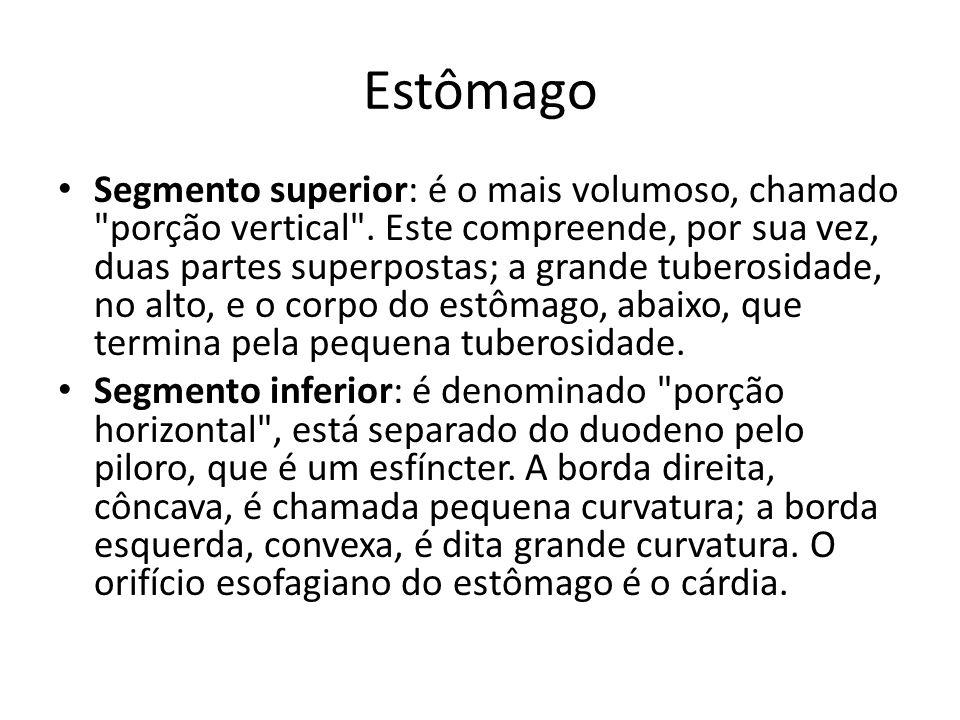 Estômago Segmento superior: é o mais volumoso, chamado porção vertical .