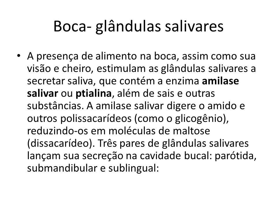 Boca- glândulas salivares Glândulas