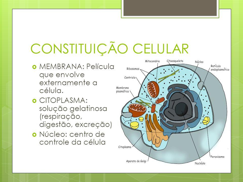 CONSTITUIÇÃO CELULAR MEMBRANA: Película que envolve externamente a célula. CITOPLASMA: solução gelatinosa (respiração, digestão, excreção) Núcleo: cen