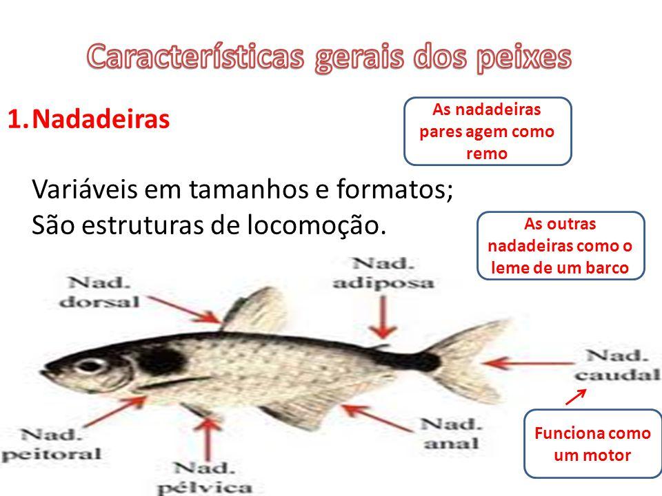 1.Nadadeiras Variáveis em tamanhos e formatos; São estruturas de locomoção.