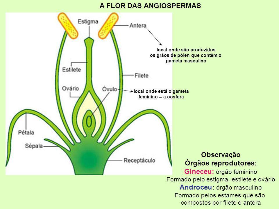 Observação Órgãos reprodutores: Gineceu: órgão feminino Formado pelo estigma, estilete e ovário Androceu: órgão masculino Formado pelos estames que sã