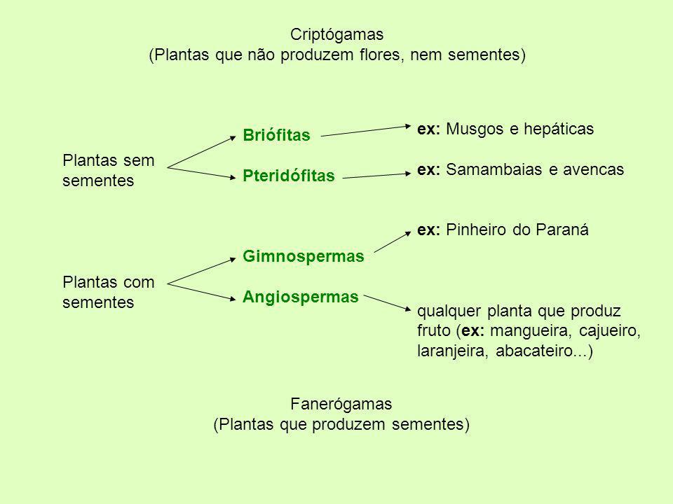 Briófitas Pteridófitas Gimnospermas Angiospermas ex: Musgos e hepáticas ex: Samambaias e avencas ex: Pinheiro do Paraná qualquer planta que produz fru