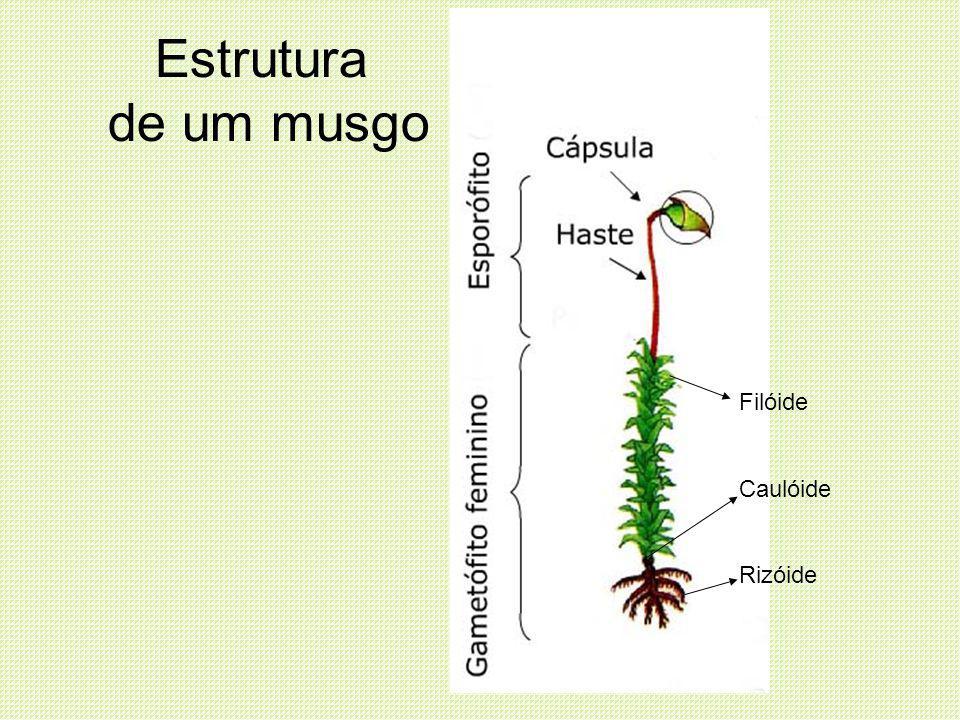 Estrutura de um musgo Filóide Caulóide Rizóide