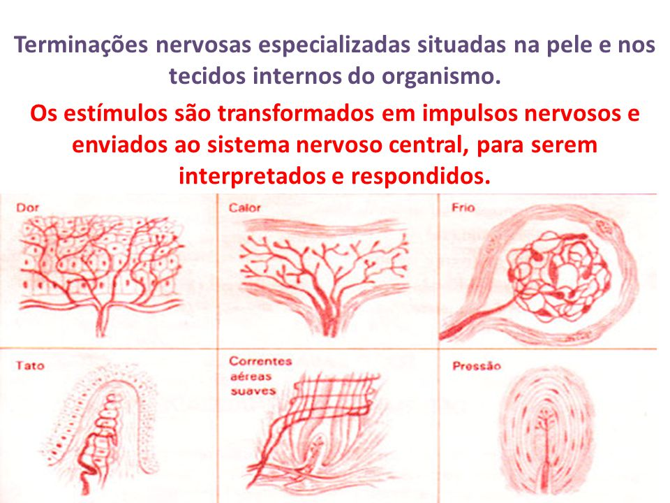 Principais receptores sensoriais Corpúsculo de Meissner - Tato (presentes nas regiões mais sensíveis da pele) Corpúsculo de Pacini - Pressão forte Corpúsculo de Krause - Frio Corpúsculo de Ruffini - Calor Terminações nervosas livres - Dor