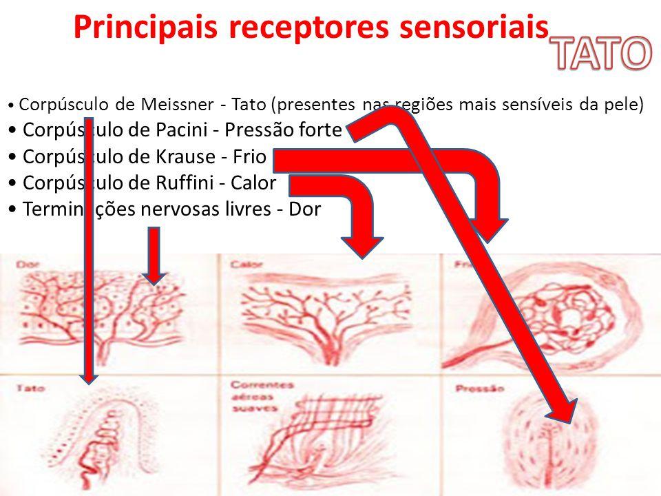 Principais receptores sensoriais Corpúsculo de Meissner - Tato (presentes nas regiões mais sensíveis da pele) Corpúsculo de Pacini - Pressão forte Cor