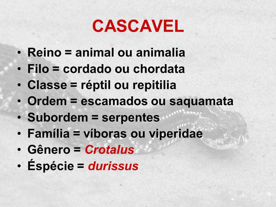 CASCAVEL Reino = animal ou animalia Filo = cordado ou chordata Classe = réptil ou repitilia Ordem = escamados ou saquamata Subordem = serpentes Famíli