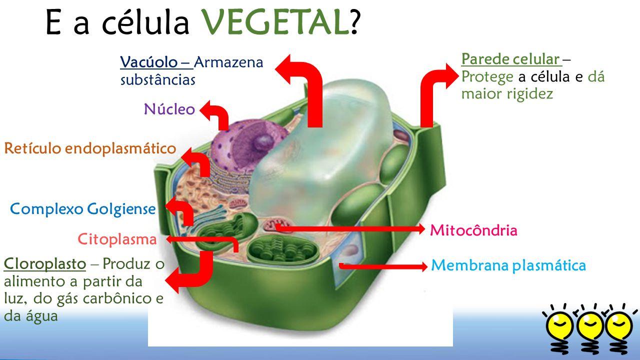 E a célula VEGETAL? Parede celular – Protege a célula e dá maior rigidez Vacúolo – Armazena substâncias Mitocôndria Núcleo Retículo endoplasmático Com