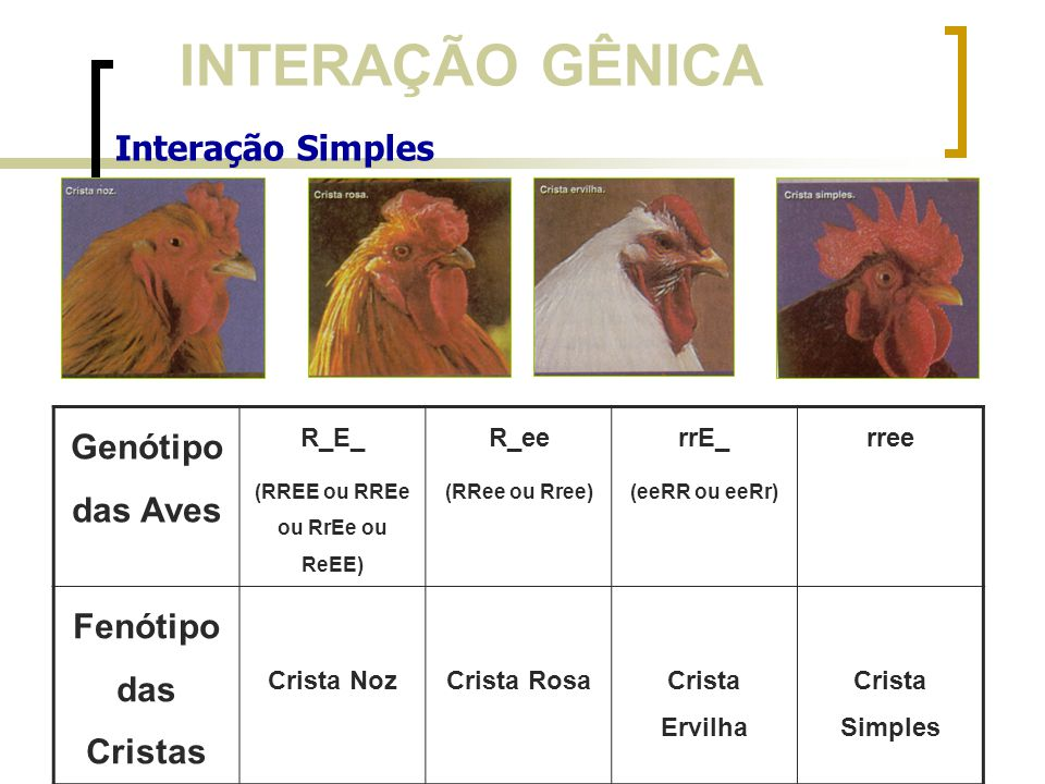 INTERAÇÃO GÊNICA Interação Simples Genótipo das Aves R_E_ (RREE ou RREe ou RrEe ou ReEE) R_ee (RRee ou Rree) rrE_ (eeRR ou eeRr) rree Fenótipo das Cri
