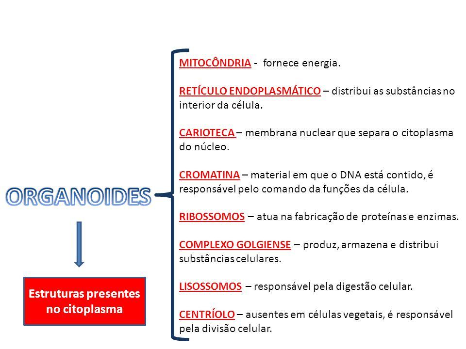 MITOCÔNDRIA - fornece energia. RETÍCULO ENDOPLASMÁTICO – distribui as substâncias no interior da célula. CARIOTECA – membrana nuclear que separa o cit