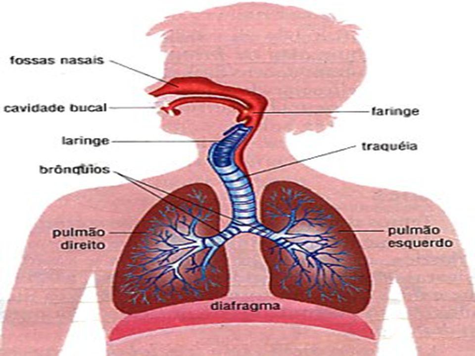 Nariz entrada de ar Cavidade nasal ar filtrado, aquecido e umidificado Faringe e Laringe passagem de ar Traqueia bifurca-se nos brônquios Brônquios e Bronquíolos ramificam-se no interior dos pulmões