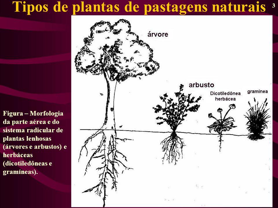 3 Tipos de plantas de pastagens naturais Figura – Morfologia da parte aérea e do sistema radicular de plantas lenhosas (árvores e arbustos) e herbáceas (dicotiledôneas e gramíneas).