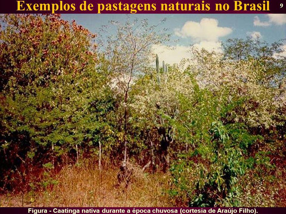 9 Exemplos de pastagens naturais no Brasil Figura - Caatinga nativa durante a época chuvosa (cortesia de Araújo Filho).
