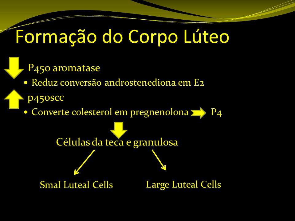 Formação do Corpo Lúteo P450 aromatase Reduz conversão androstenediona em E2 p450scc Converte colesterol em pregnenolona P4 Células da teca e granulos