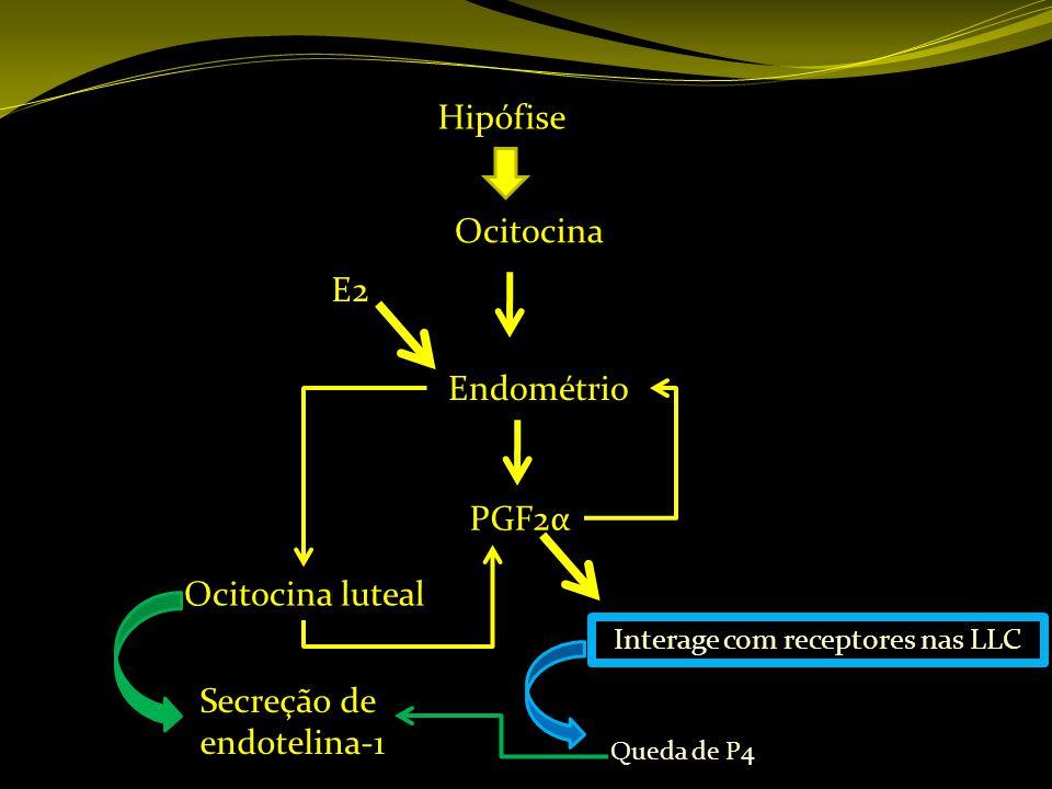 Hipófise Ocitocina Endométrio PGF2α Ocitocina luteal Interage com receptores nas LLC E2 Queda de P4 Secreção de endotelina-1