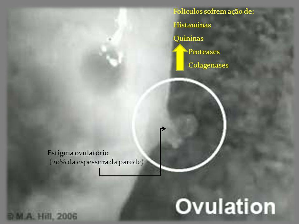 Folículos sofrem ação de: Histaminas Quininas Proteases Colagenases Estigma ovulatório (20% da espessura da parede)