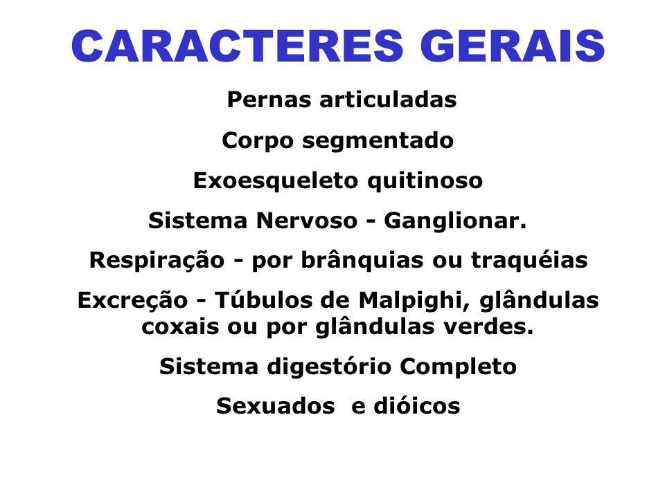 CARACTERES GERAIS Pernas articuladas Corpo segmentado Exoesqueleto quitinoso Sistema Nervoso - Ganglionar.