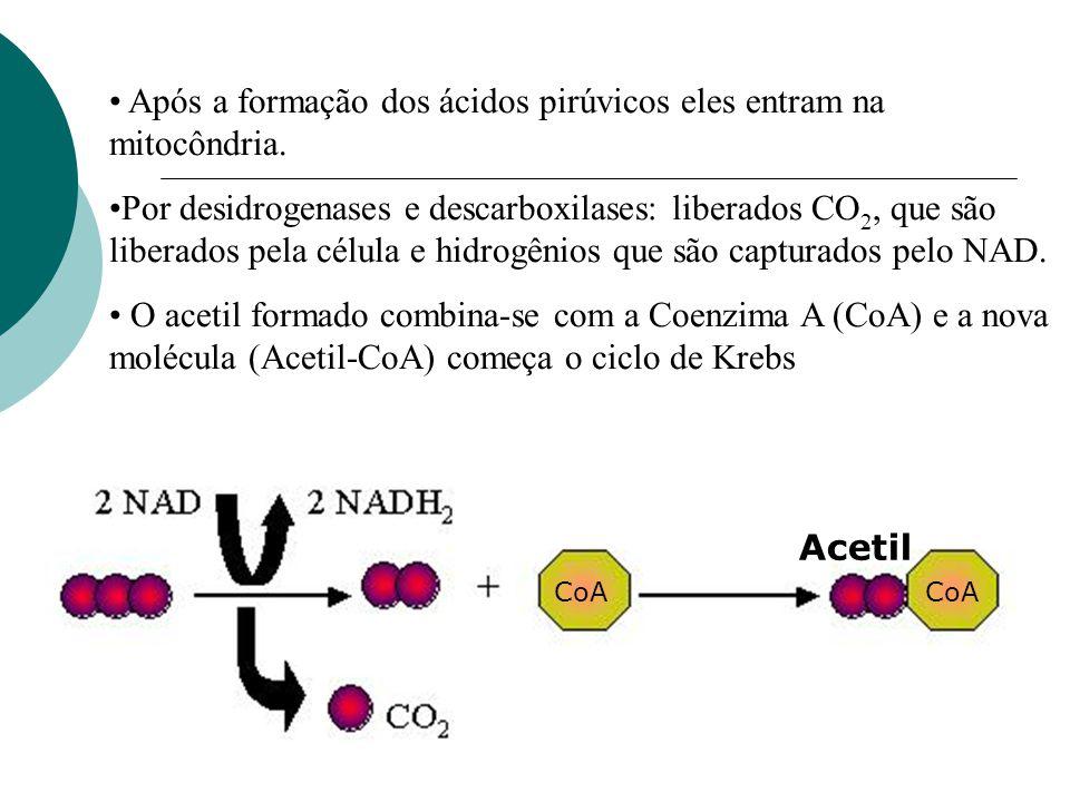 Após a formação dos ácidos pirúvicos eles entram na mitocôndria. Por desidrogenases e descarboxilases: liberados CO 2, que são liberados pela célula e