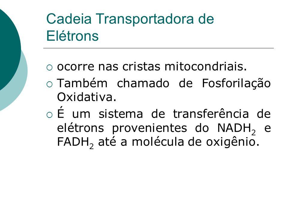 Cadeia Transportadora de Elétrons ocorre nas cristas mitocondriais. Também chamado de Fosforilação Oxidativa. É um sistema de transferência de elétron