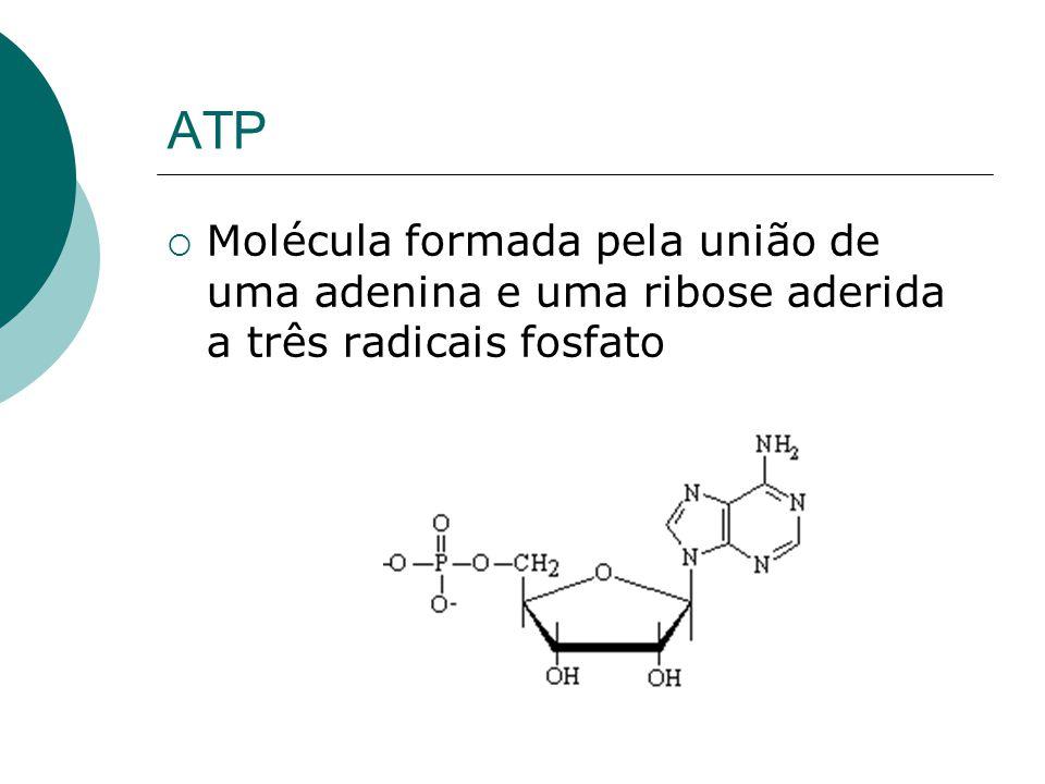 ATP Molécula formada pela união de uma adenina e uma ribose aderida a três radicais fosfato