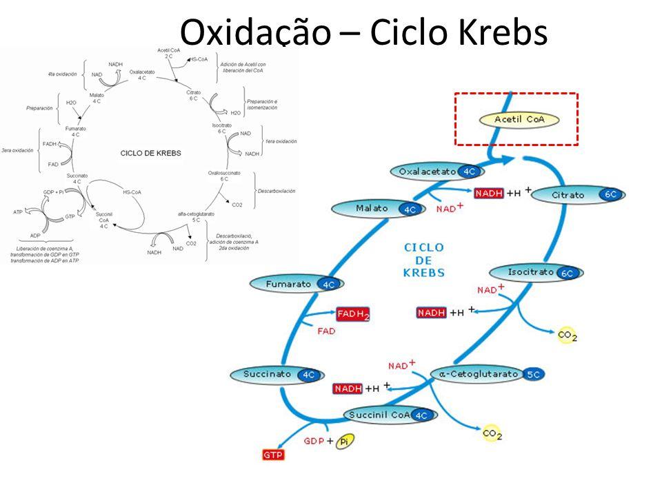 Oxidação – Ciclo Krebs