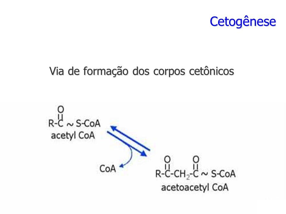 Cetogênese Via de formação dos corpos cetônicos