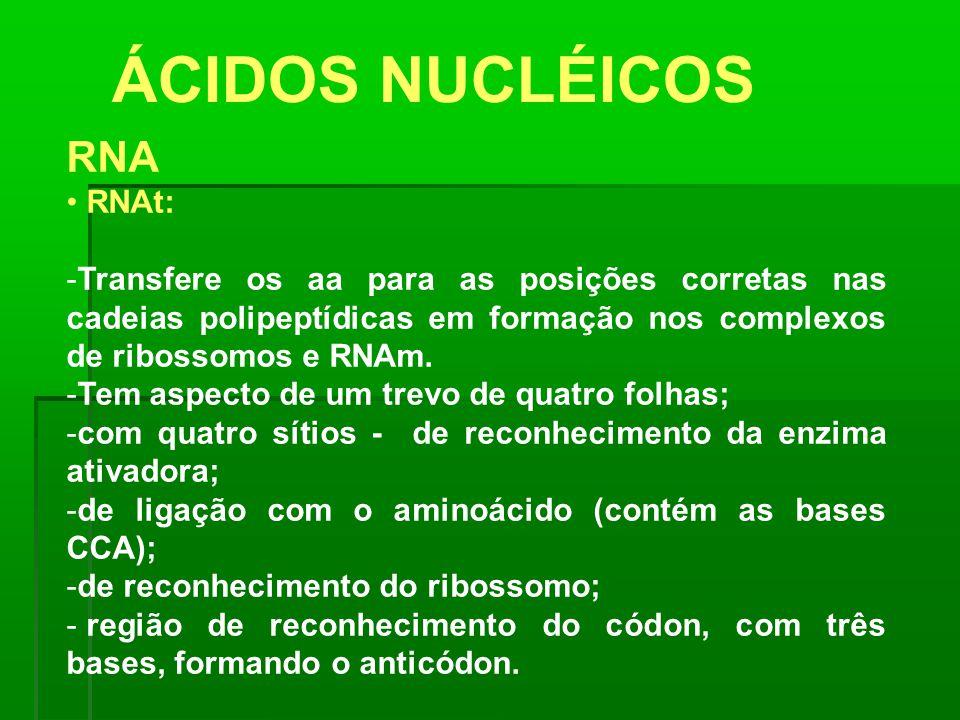 ÁCIDOS NUCLÉICOS RNA RNAt: -Transfere os aa para as posições corretas nas cadeias polipeptídicas em formação nos complexos de ribossomos e RNAm. -Tem