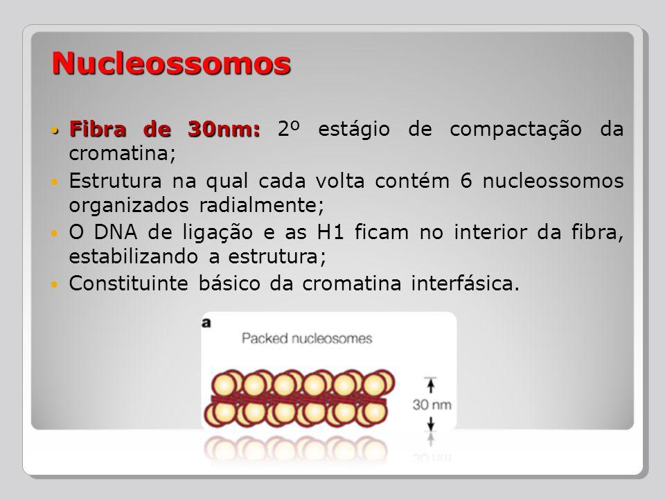 Fibra de 30nm: Fibra de 30nm: 2º estágio de compactação da cromatina; Estrutura na qual cada volta contém 6 nucleossomos organizados radialmente; O DN