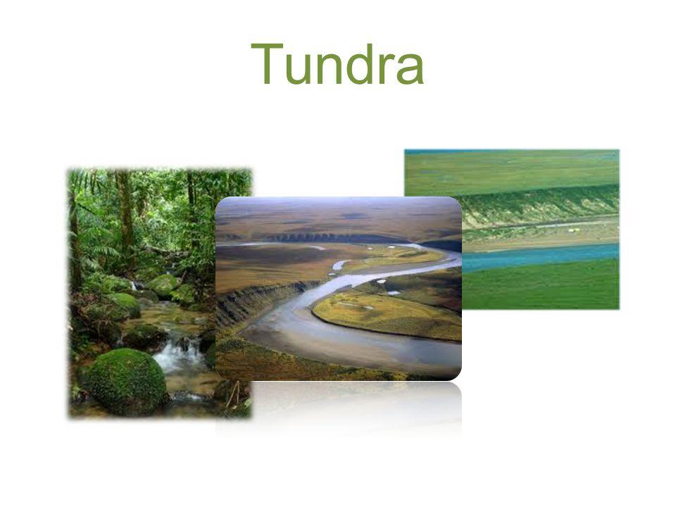 As suas características… A tundra é uma vegetação proveniente do material orgânico que aparece no curto período de degelo durante a estação quente das regiões do clima polar, apresentando assim apenas espécies que se produzem rapidamente e que suportam baixas temperaturas.