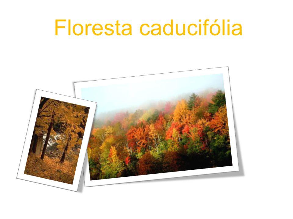 As características de uma floresta de caducifólia… A floresta temperada diz-se caducifólia quando as suas árvores perdem as folhas periodicamente (Outono/inverno).