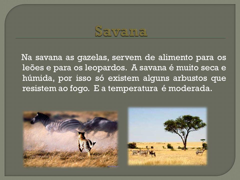 Na savana as gazelas, servem de alimento para os leões e para os leopardos. A savana é muito seca e húmida, por isso só existem alguns arbustos que re