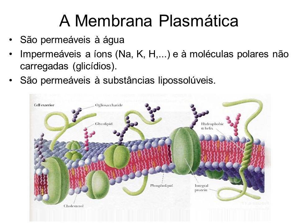 A Membrana Plasmática São permeáveis à água Impermeáveis a íons (Na, K, H,...) e à moléculas polares não carregadas (glicídios).