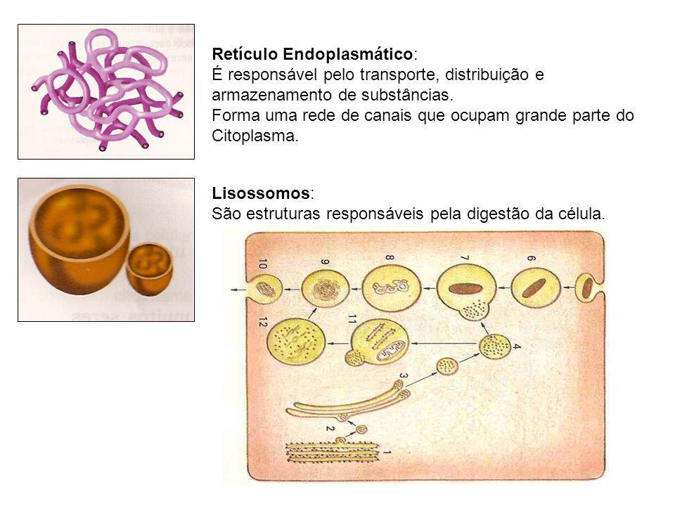 Lisossomos: São estruturas responsáveis pela digestão da célula. Retículo Endoplasmático: É responsável pelo transporte, distribuição e armazenamento