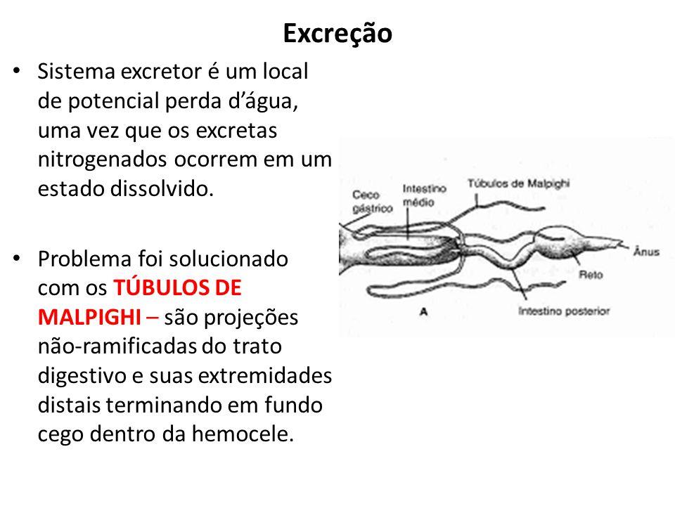 Excreção Sistema excretor é um local de potencial perda dágua, uma vez que os excretas nitrogenados ocorrem em um estado dissolvido. Problema foi solu